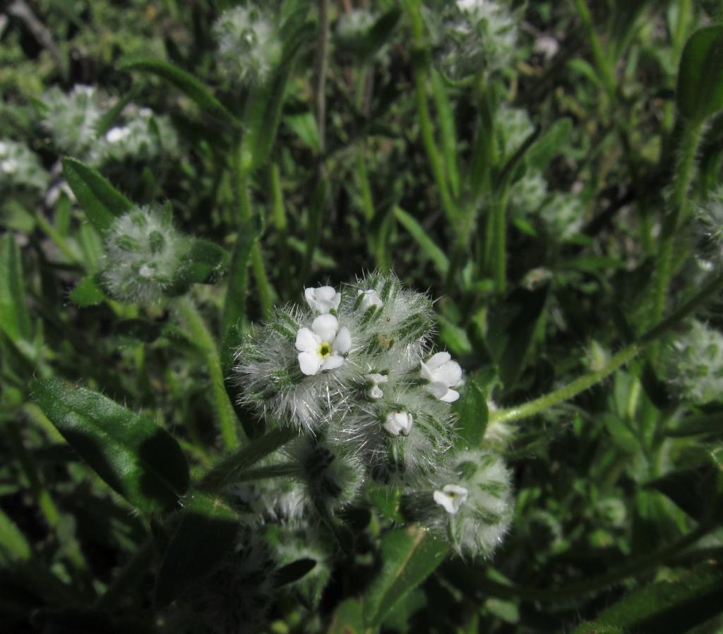 Narrow-Leaved Popcorn Flower