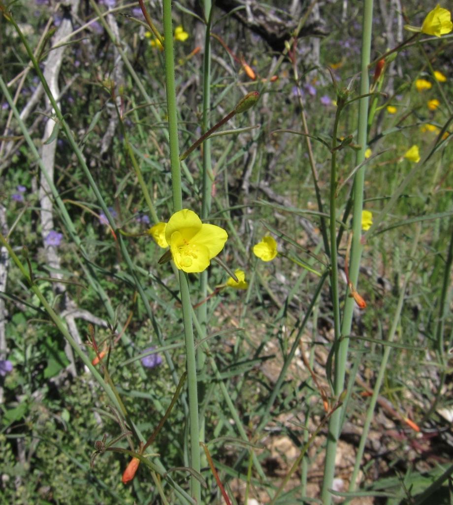 Mustard Evening Primrose