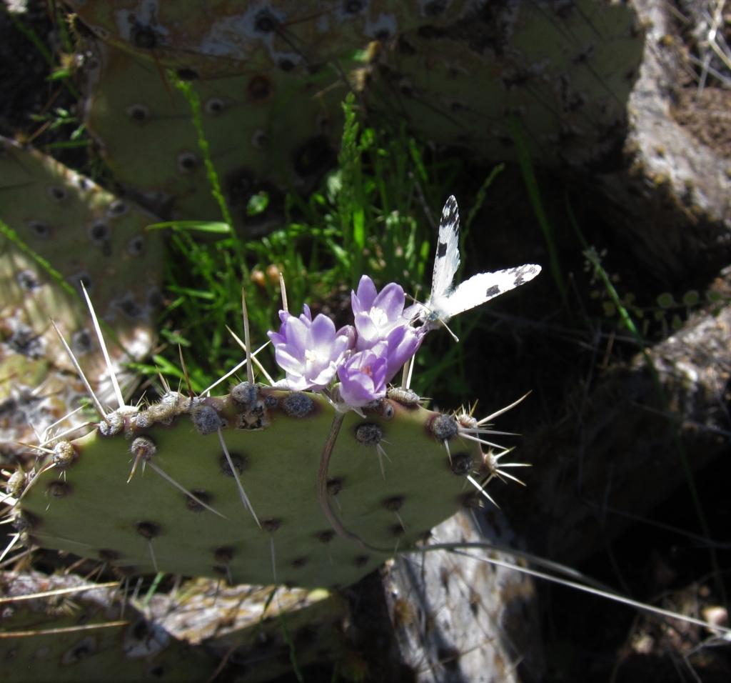 Blue Dicks & Desert Marble butterfly