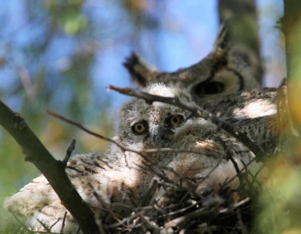 私を睨んでるワシミミズクの雛と雌親