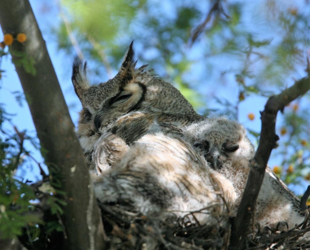 片目を開け眠ってるワシミミズクの雛と雌親