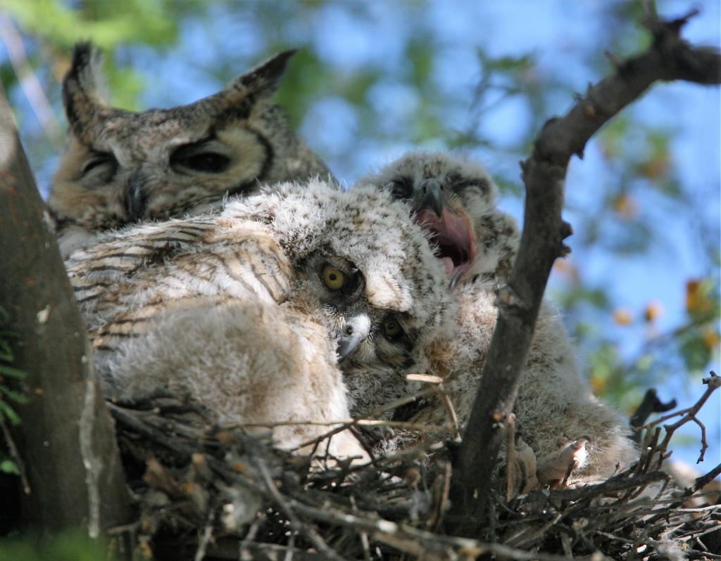 2羽のワシミミズクの雛、大欠伸の姿