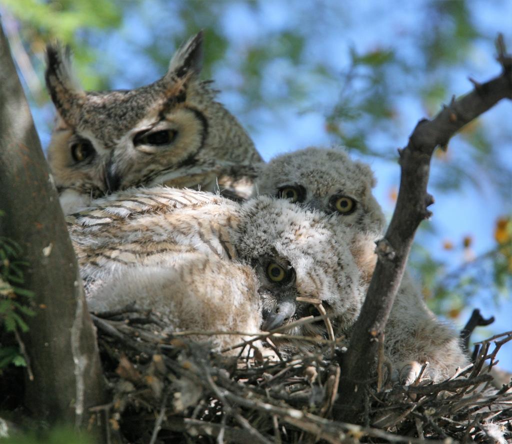 大きな目を開け睨んでる2羽のワシミミズクの雛