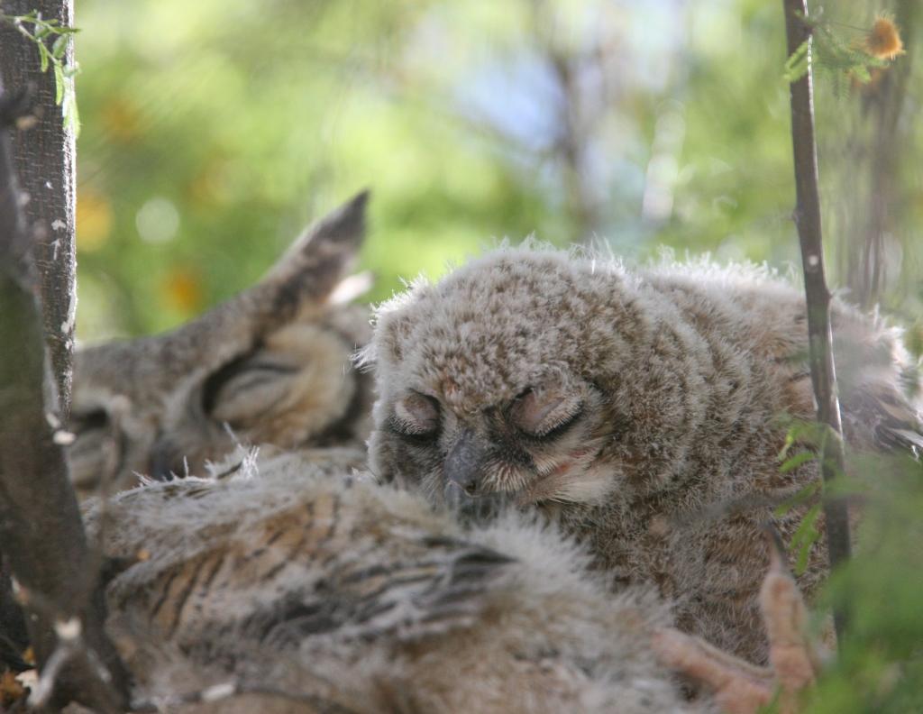 ぐっすり眠るワシミミズクの雛と雌親