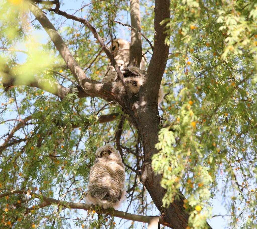 親と雛2羽が縦に並ぶワシミミズク