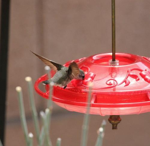 ノドグロハチドリの雌
