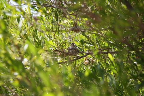 巣に座るノドグロハチドリの雌
