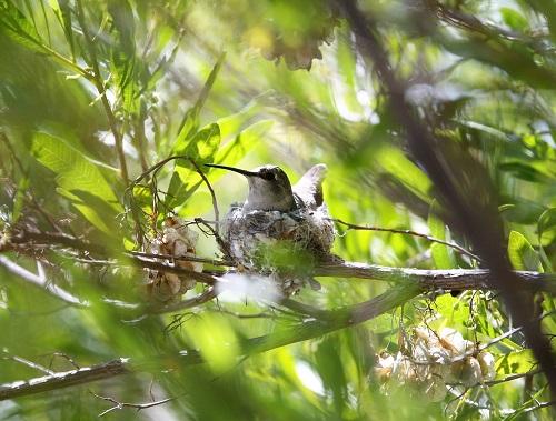 巣に座るノドグロハチドリの雌親