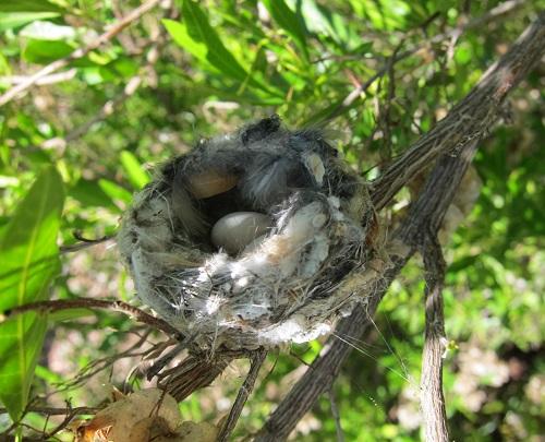 ノドグロハチドリの卵2個