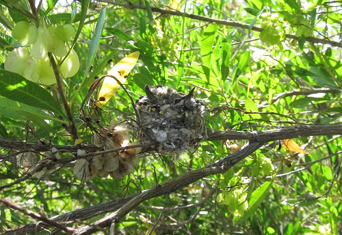 巣にうずもれるノドグロヒメドリ雛