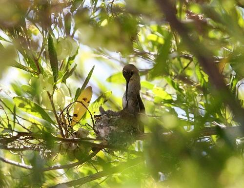 雛にエサ与えるノドグロハチドリ雌親