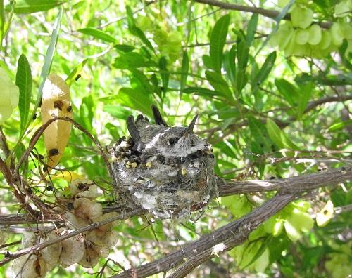 巣の中の雛ノドグロハチドリ