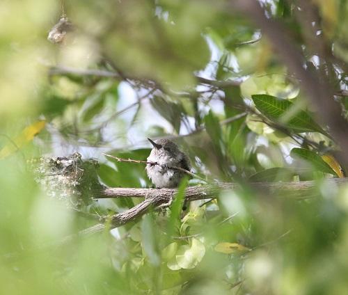 巣の横に出たノドグロハチドリ雛