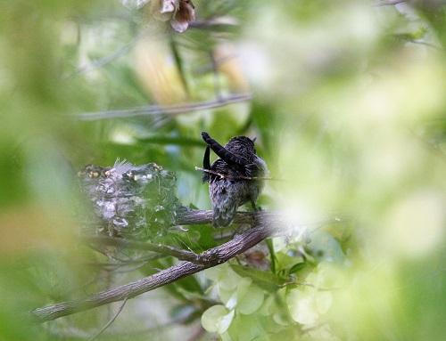 巣の枝から飛び出そうとする雛