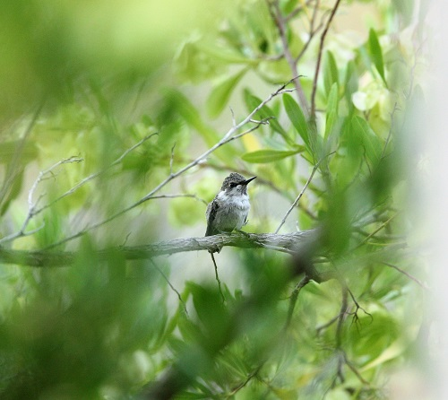 初飛び成功の雛・ノドグロハチドリ