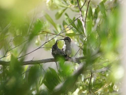 雌親に甘える雛ノドグロハチドリ