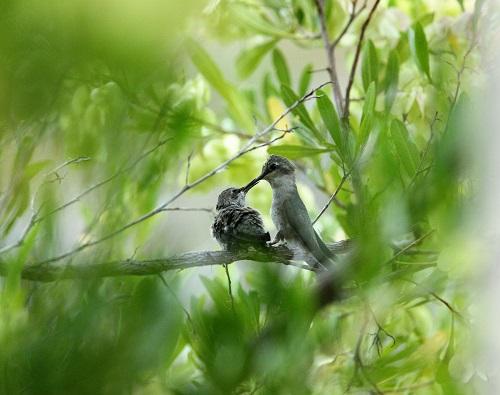 エサを貰う雛ノドグロハチドリ