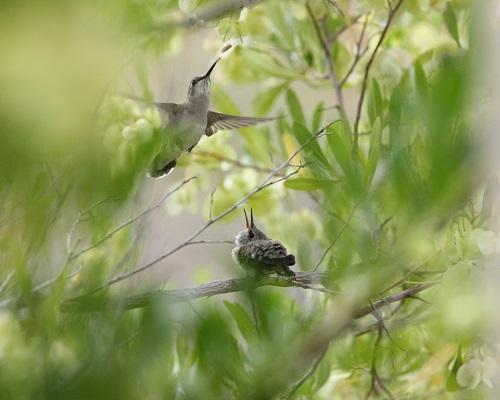 虫を捕る雌親と雛ノドグロハチドリ