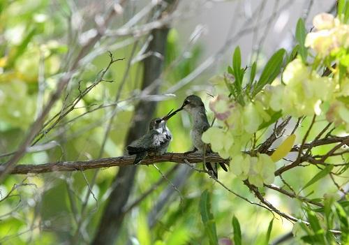 エサを与える雌親ノドグロハチドリ
