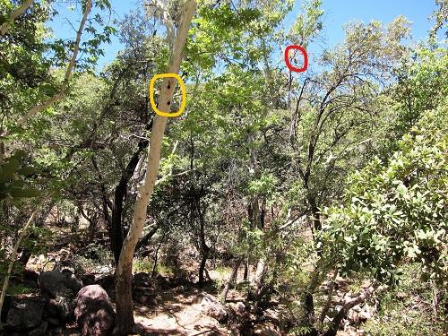 風景スズメフクロウと巣の木