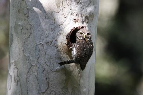 スズメフクロウ巣穴入口雌親