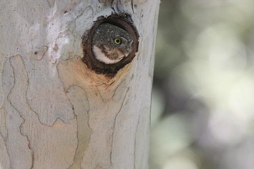 スズメフクロウ雛巣穴から顔出す