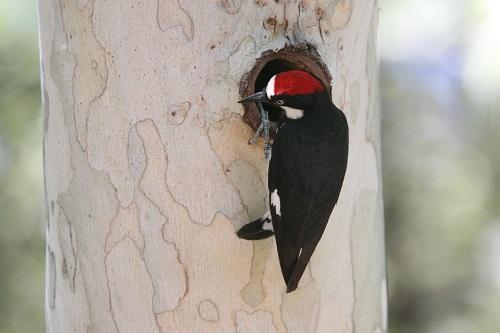 スズメフクロウの巣穴を覗くドングリキツツキ
