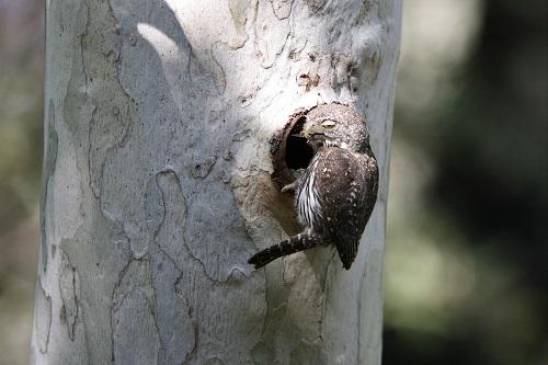 巣穴入口、眠そうな目スズメフクロウ