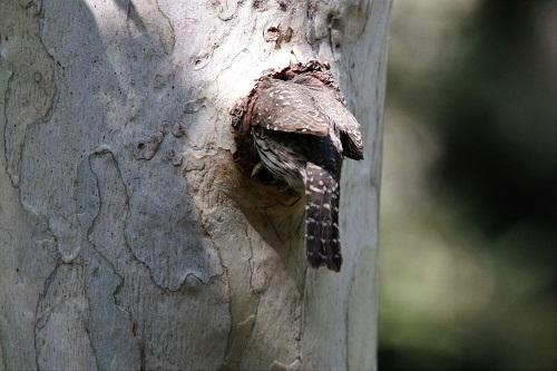 巣穴に入っていくスズメフクロウ