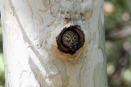 虫を銜えて巣穴から出る雌親