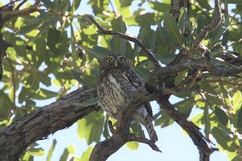 巣を見守るスズメフクロウのメス