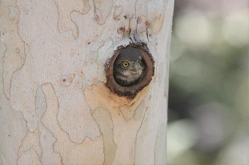 巣から顔を出すスズメフクロウ雛