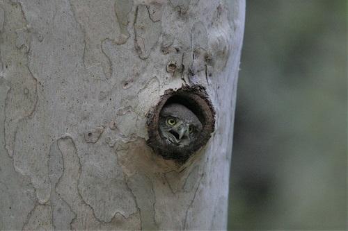 巣穴で鳴くスズメフクロウ雛