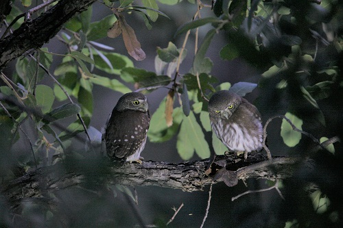 枝に並ぶスズメフクロウ雛2羽