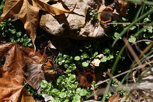 水辺に降りてきた蝶2匹