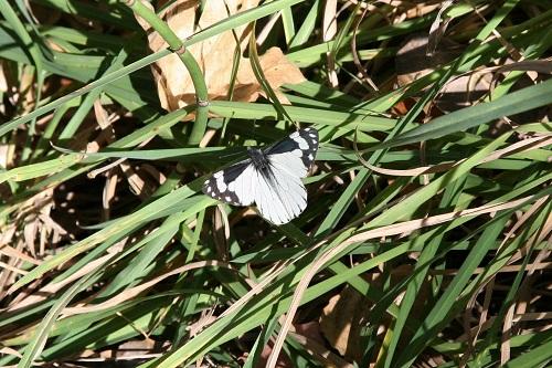 蝶Chiricahua Pine White メス
