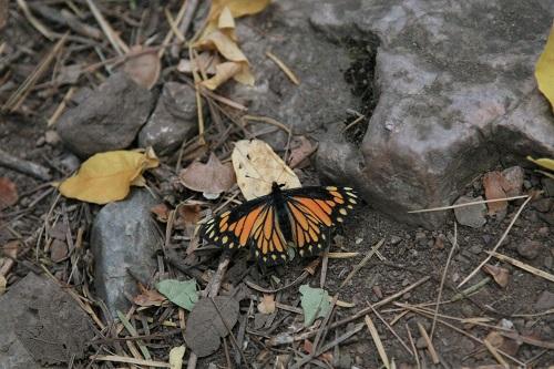 蝶 Chiricahua Pine White メス