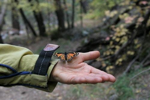 手に止まる蝶 Chiricahua Pine White メス