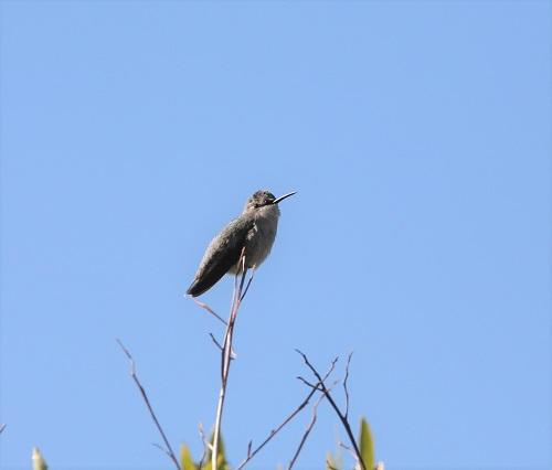 枯枝に止まるコスタハチドリ雌
