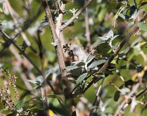巣作り中のコスタハチドリ