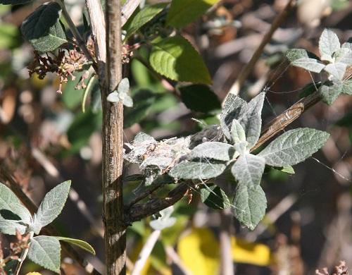 コスタハチドリの巣