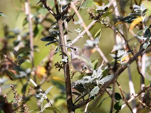 巣の上で飛ぶコスタハチドリ