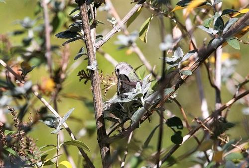 クモの糸を巣に絡ませるコスタハチドリ