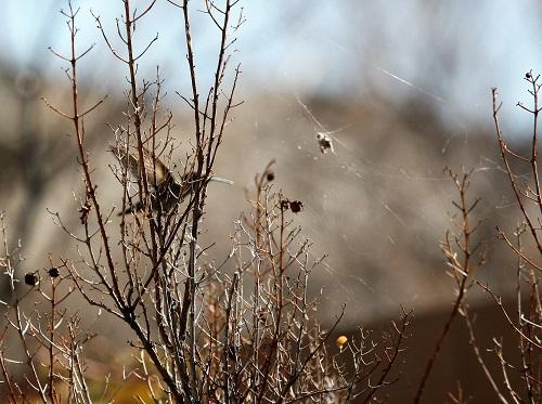 クモの巣とコスタハチドリ