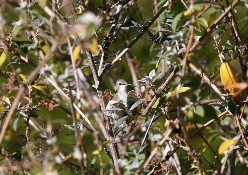 巣に座るコスタハチドリ