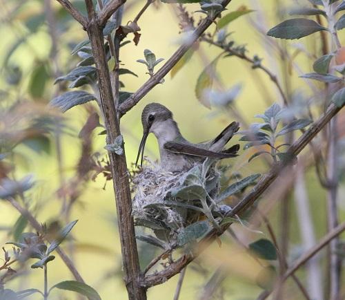 巣を手直しコスタハチドリ雌