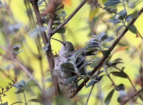完成した巣に座るコスタハチドリ