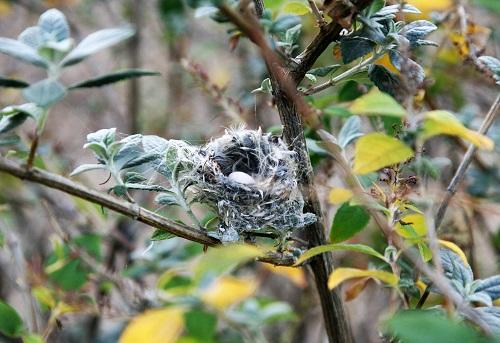 卵一個産まれるコスタハチドリの巣