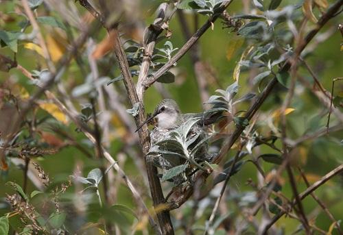 抱卵中のコスタハチドリ