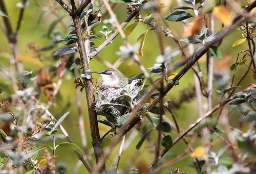 巣で眠るコスタハチドリ